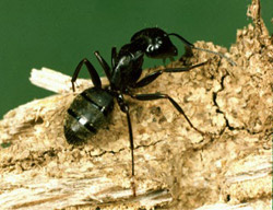 carpenter ant - how to get rid of ant hills in the lawn