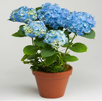 Blue Hydrangea annual in pot