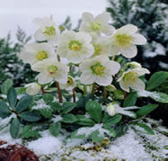 cold-friendly flowers