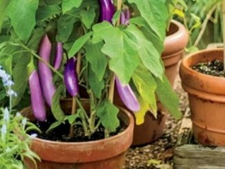 how to grow vegetables in pots at home