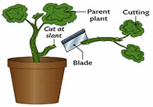 taking a cutting - how to grow vegetables in pots at home