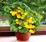 tomato pot in sunlight - how to grow vegetables in pots at home