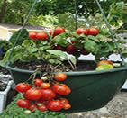 tomatoes - how to grow vegetables in pots at home