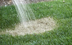 watering dry lawn - best time to aerate and overseed
