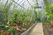 winter vegetable growth in greenhouse