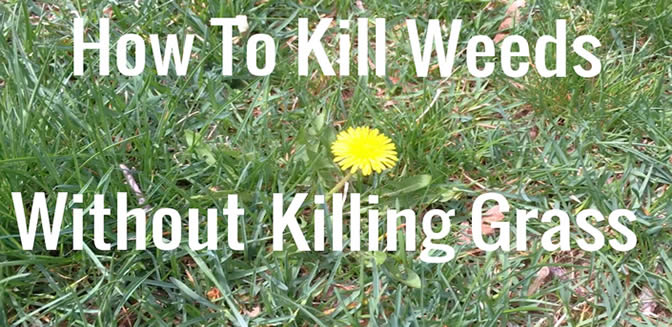How To Get Rid Of A Lawn Full Weeds Does Your