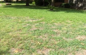 lawn needing aeration